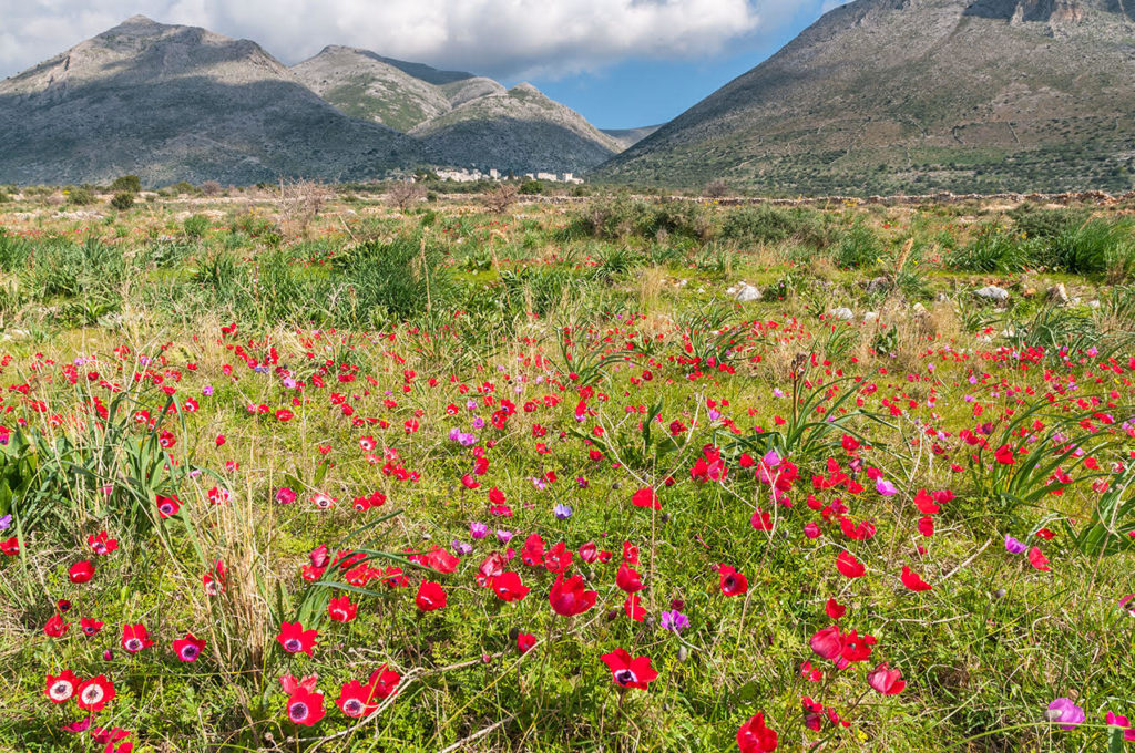 Spring wild flowers, Anemone (Ranunculacea) in the deep Mani, between Gerolemenas and Boulari. peloponnese, Southern Greece. ©Pete Eastland